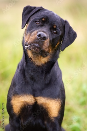 rottweiler dog images - HD1000×1500