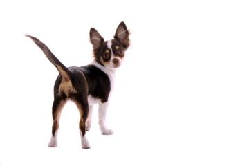 Chihuahua Welpe schaut nach hinten