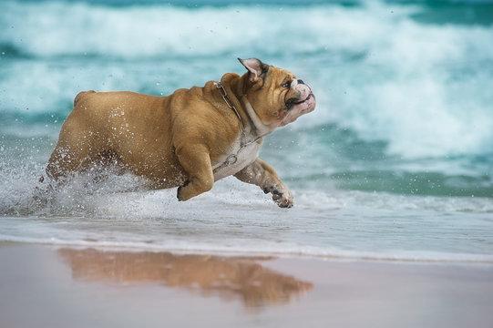 Happy dog Bulldog running at the sea