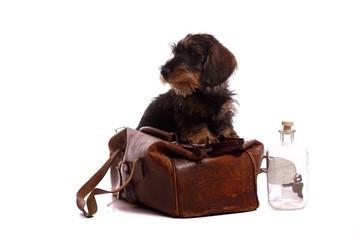Wall Mural - junger Hund Dackel schaut aus Tierarztkoffer raus
