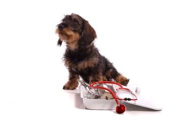 Wall Mural - sitzender kleiner Hund Dackel beim Tierarzt