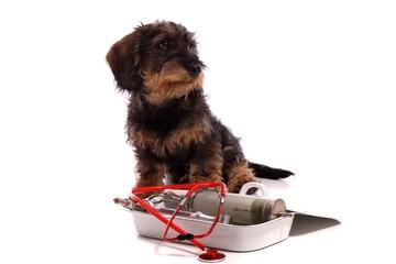 Wall Mural - sitzender junger Hund Dackel mit Tierarzt Geräten