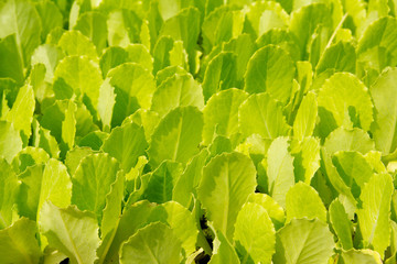 lettuce green little sprouts growing