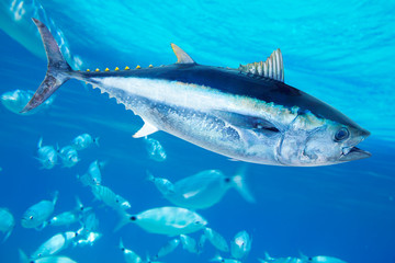 Door stickers Fishing Bluefin tuna Thunnus thynnus saltwater fish