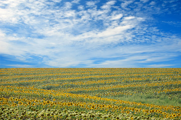 summer field of sunflowers and perfect blue sky