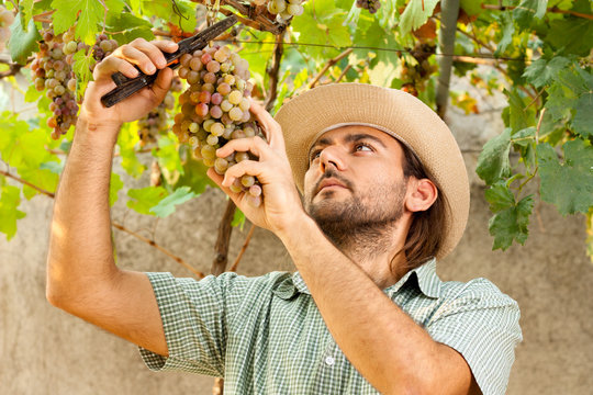 Farmer Cutting a Yellow Bunch of Grapes with Shears