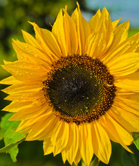 Sunflower Helianthus