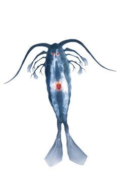 marine planktonic copepod isolated on white