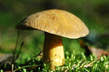 Velvet bolete mushroom (Suillus variegatus)