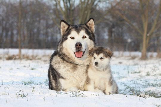 alaskan malamute et son bébé dans la neige