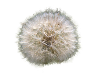 Beautiful flower of the dandelion background of the herb