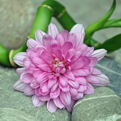 Rosa Blume auf Steinen mit Bambus