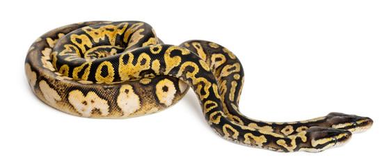 Male and female Pastel calico Royal Python, ball python