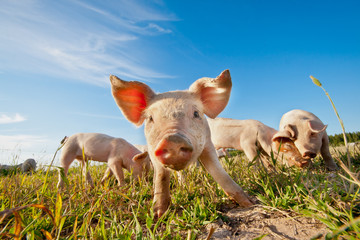 Small pig standing on a field