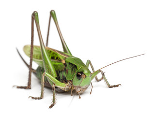 Female wart-biter, a bush-cricket, Decticus verrucivorus
