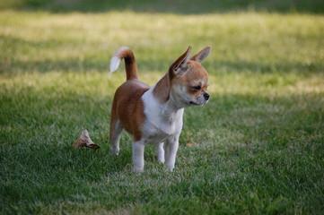 chien de prairie 4