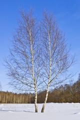 Fototapete - Two birches