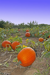 pumpkins in the field