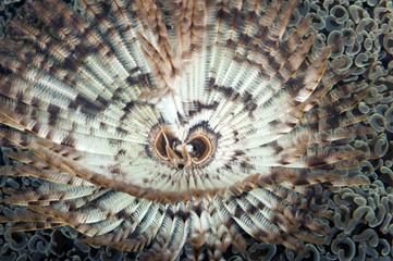 Indischer Röhrenwurm (Sabellastarte indica)