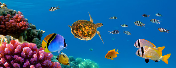 Aluminium Prints Under water Underwater panorama with turtle, coral reef and fishes. Sharm el