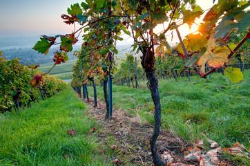 Fototapete - Weinrebe und Laub