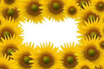 sunflower on white space background