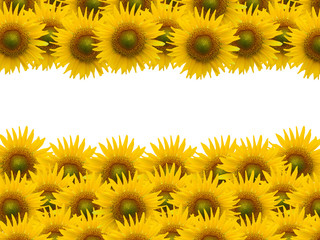 sunflower on white space