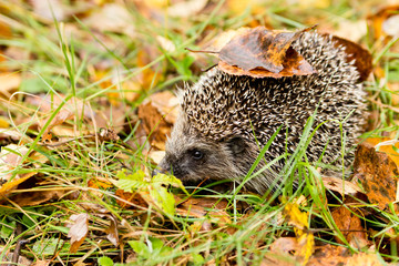 Hedgehog in the autumn forest crawling through grass