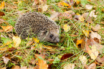 Hedgehog in the autumn forest crawling through old grass