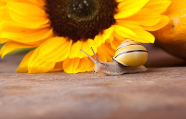 Schnecke und Sonnenblume