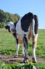 Kuh auf der Weide leckt ihr Fell