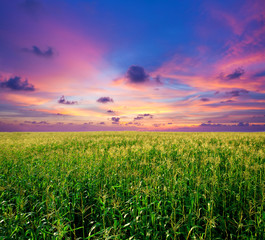 sunset in the corn field