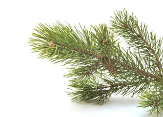 branch siberian pine