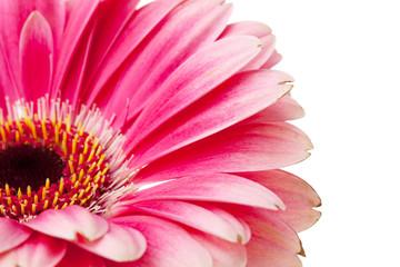 Poster de jardin Gerbera Pink flower closeup