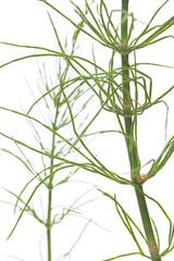 Acker-Schachtelhalm (Equisetum arvense) Nahaufnahme seitlich