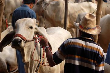 Cow merchant
