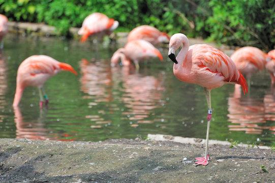Flamingos at Lincoln Park Zoo
