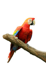 Red isolated parrot