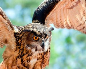 Close up of European eagle owl in flight.
