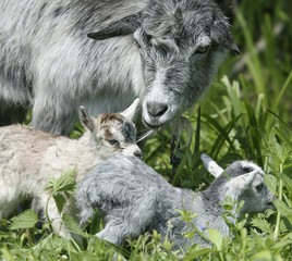 goat and her kids