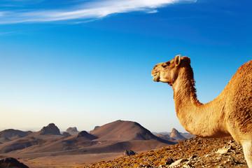 Printed roller blinds Algeria Camel in Sahara Desert