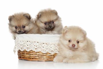 Pomeranian Puppies in wicker basket