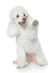 Wall Mural - White Toy Poodle gives that a paw