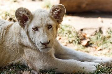 White lion baby