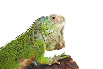 Green iguana on branch isolated on white