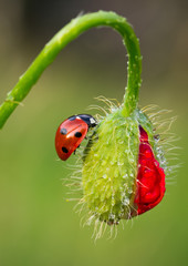 Ladybird on Poppy bud