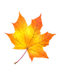 beautiful colorful autumn maple leaf isolated on white backgroun