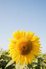 big yellow sunflowers.