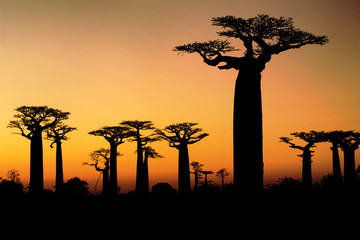 Foto op Canvas Baobab Sunset and baobabs trees