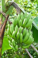 green bananas on the Tree .
